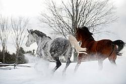Dappple gray horse and bay horse galloping in deep snow.