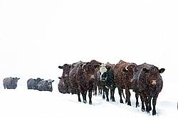 Beef Cattle Walking Single File