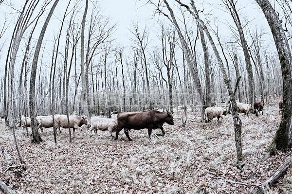 Beef Cattle Walking in Woods