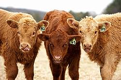 Three beef calves