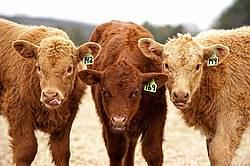 Three beef calves