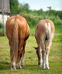 Two Belgian draft horse butts
