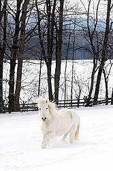 White Icelandic horse in deep snow