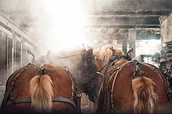 Belgian draft horse standing inside barn