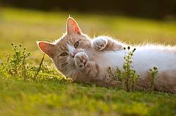 Orange cat laying on the grass outside in the sunshine