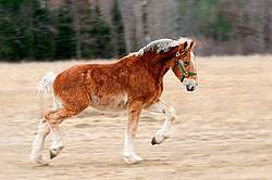 Young Belgian Horse Trotting