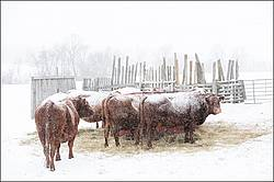 Cows in a snowstorm