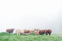 Herd of beef cattle in the fog