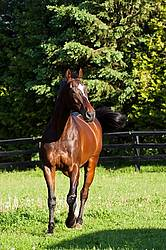 Thoroughbred gelding in a paddock