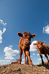 Beef calves standing on top of a dirt hill.