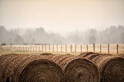 Round bales of hay stored in long rows outside for winter feeding