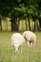 Sheep on summer pasture.