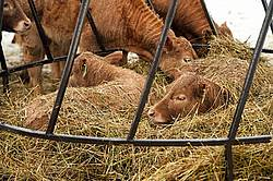 Young Beef Calves