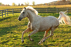Palomino horse galloping around paddock