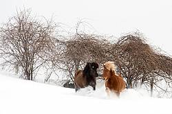 Icelandic horses running and playing in deep snow