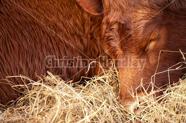 Photo of beef cow curled up sleeping in a bed of straw