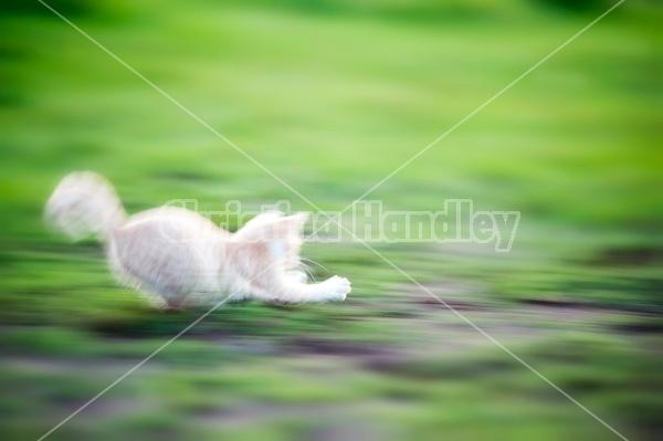 Orange kitten running and playing outside. Motion blur.