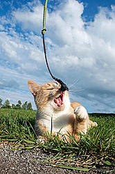 Orange and white cat playing with whip