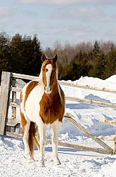 Paint horse in the snow