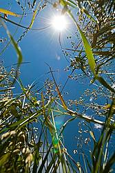 Photo of oats with sun and sky in the background