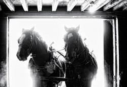 Team of Belgian Draft Horses