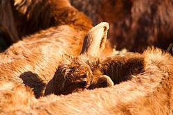 Young beef calves sleeping in the sun