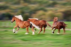 Three Belgian draft horses galloping in field. Photographed with a slow shutter speed to imply motion