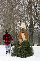 Man driving a Belgian stallion pulling a Christmas tree.
