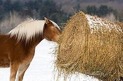 Belgian Horse Eating Hay