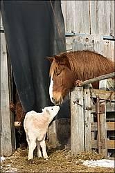 Belgian draft horse meets young Charolais beef calf