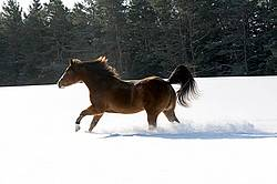 American paint horse running in snow