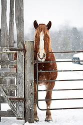 Belgian Draft Horse in Winter