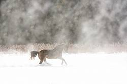 Single horse galloping through deep snow. Cold breath and blowing snow being lit by sunshine