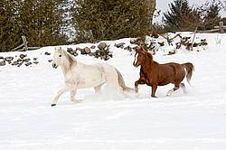 Two horses running and galloping through the deep snow