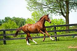 Chestnut Thoroughbred horse