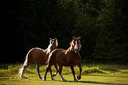 Two horses trotting around pasture