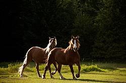 Two horses trotting around pasture