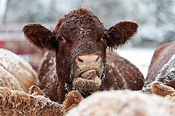 Photo of cow licking her lips while eating oats
