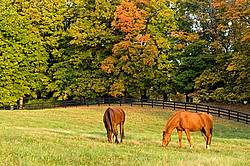 Two horses grazing on autumn pasture