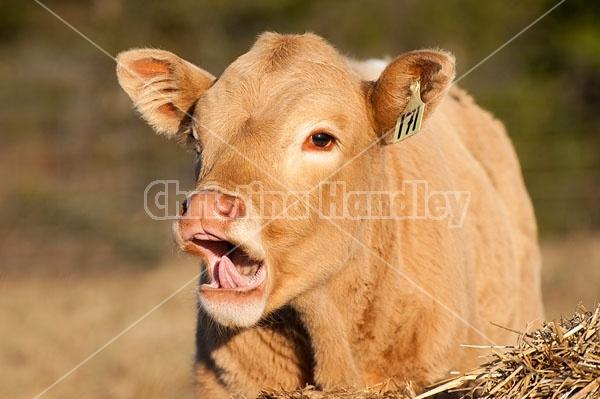 Young beef calf yawning