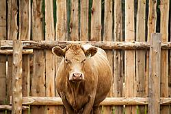 Charolais cross beef cow