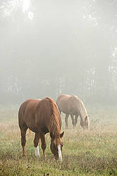 Two Belgian draft horses grazing in the early morning fog