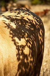The shadows of leaves on the side of a Charolais cow