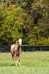 Portrait of Appaloosa horse standing in field