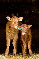 Baby beef calves standing in barn doorway