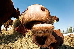 Beef Cow Nose
