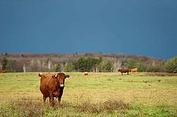 Cattle on Autumn Pasture