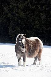Pony standing in deep snow