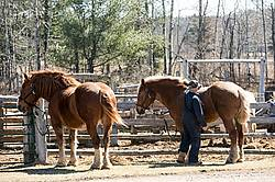 Farmer brushing Belgian horses