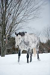 Gray horse walking in deep snow.